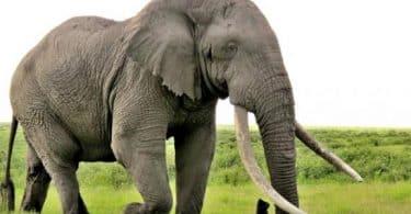 معلومات عن الفيل وصفاته