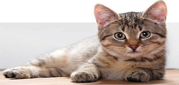 معلومات عن القطط المنزلية