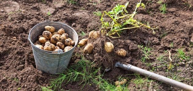 زراعة البطاطس في المنزل ومواعيدها