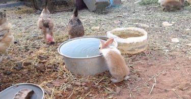 علاج الإجهاد الحراري في الدواجن والأرانب