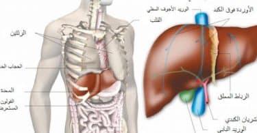 اين يقع الكبد في جسم الانسان