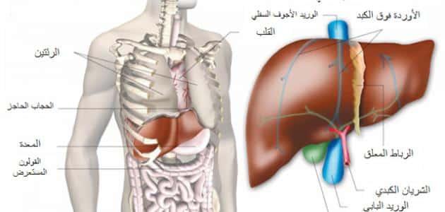 اين يقع الكبد في جسم الانسان معلومة ثقافية