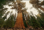 أكبر شجرة معمرة في العالم