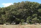 ماهي الشجرة التي يستخرج منها الفلين