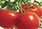 ما هي فوائد أكل الطماطم على الريق