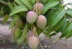 ما هي مراحل نمو شجرة المانجو