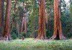 معلومات عن أطول شجرة في العالم