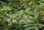 ما هي الشجرة التي تستعمل قشورها لعلاج الحمى والملاريا ؟