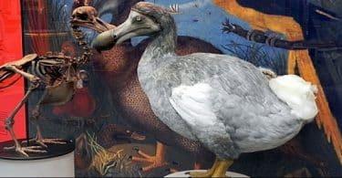 طائر الدودو