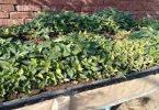 كيفية زراعة الملوخية في المنزل