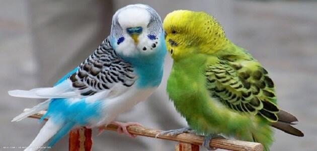 أضرار تربية العصافير الأسترالي بالتفصيل