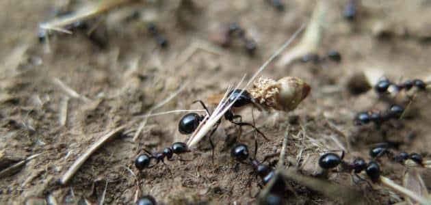 فوائد زيت النمل واستعمالاته