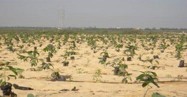 مشروع زراعة البصل فى الاراضى الصحراوية