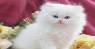 أنواع القطط الشيرازي والرومي (1)