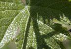 طريقة تخزين ورق العنب بالتفصيل