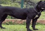 أقوى كلاب في العالم وأكثرها منفعة للبشر