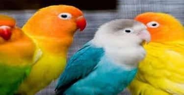 انواع عصافير الزينة واسمائها واسعارها