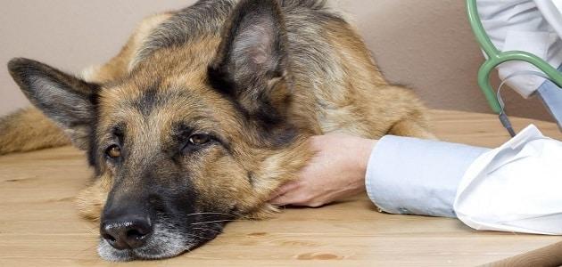 علاج الديدان عند الكلاب وكيفية التخلص منها