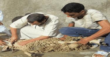 كيفية ذبح الخروف على الطريقة الإسلامية