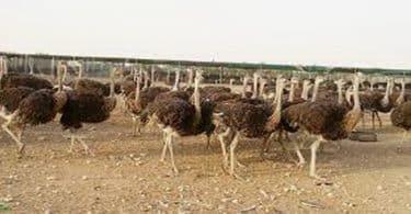 كيف تبدأ مشروع تربية النعام في مصر