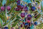 ما أشهر دول العالم في زراعة الزيتون