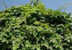 معلومات عن أسرع نبات متسلق