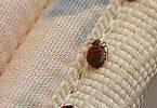 معلومات عن حشرات الفراش