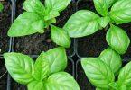 معلومات عن زراعة الريحان في المنزل