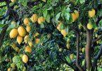 معلومات عن زراعة الليمون
