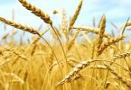 بحث عن معوقات تحقيق الأمن الغذائي