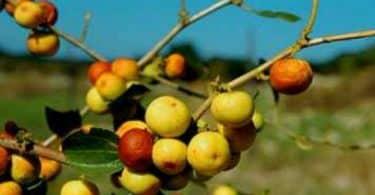 فاكهة النبق وفوائدها