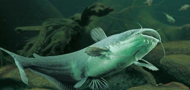 فوائد سمك السلور النهري