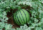 كيف تزرع البطيخ بالخطوات