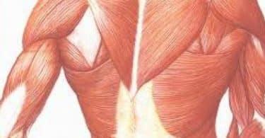 ما هي وظيفة العضلات الملساء