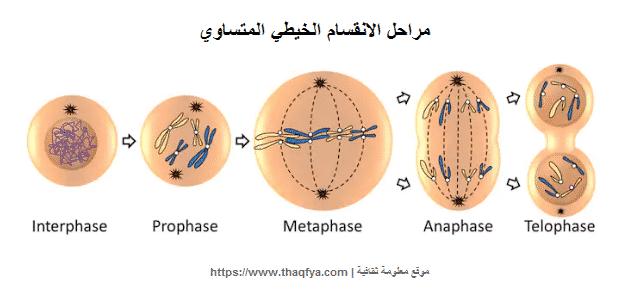 ما هي مراحل الانقسام الخيطي المتساوي للخلية الحيوانية معلومة ثقافية