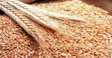 الحنطة والسكري