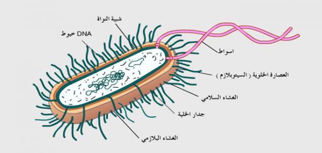 الكروموسوم البكتيري