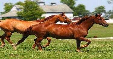 خيول كوارتر الأمريكية وسلالاتها