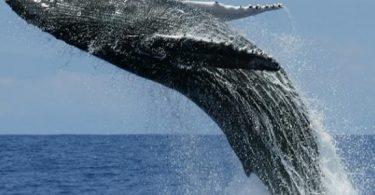 ما هو أطول حيوان في العالم؟ وكم يبلغ طوله؟