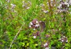 نبات البردقوش واستعمالاته