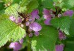 نبات القراص وفوائده