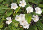نبات اللبلاب المنزلي