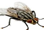 أنواع الذباب الخطير