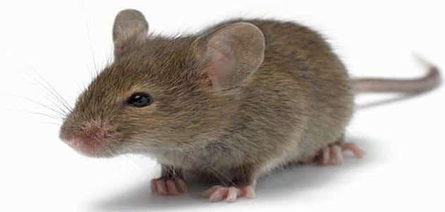 الخوف من الفأر في المنام