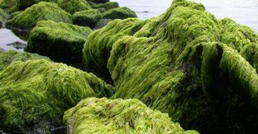 الطحالب الخضراء للتخسيس