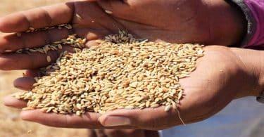 سعر طن الشعير اليوم في مصر