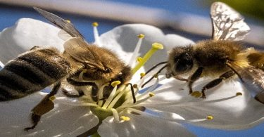 سم النحل وكورونا