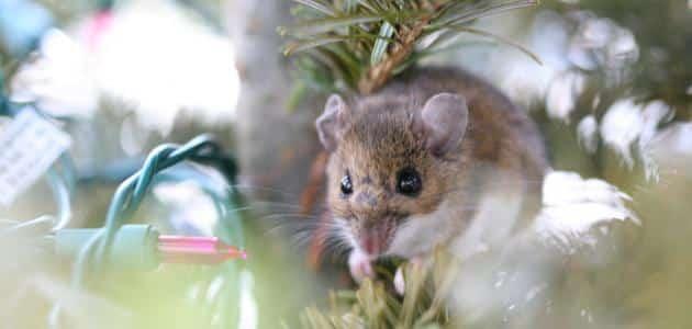 ما معنى الفأر في المنام