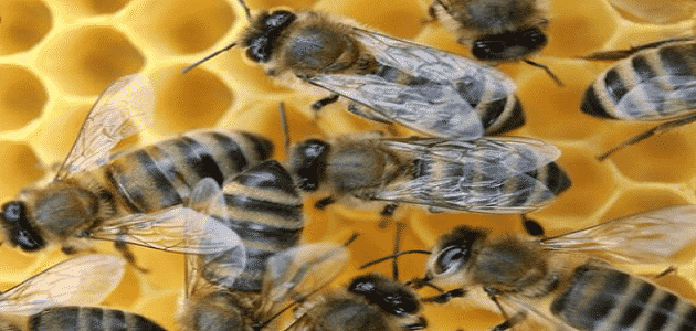 مملكة النحل وأسرارها