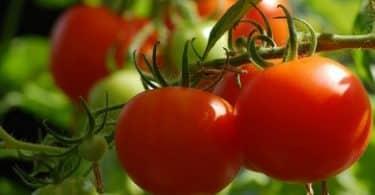 أكل الطماطم في المنام